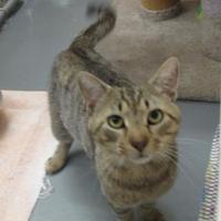 Adopt A Pet :: Grigio - Ridgely, MD