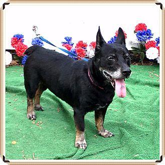 Corgi Mix Dog for adoption in Marietta, Georgia - SERENA (R)