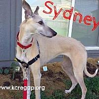Adopt A Pet :: Sydney - Kansas City, MO