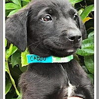 Adopt A Pet :: Caddo Rosie Jean's pup in MS - Providence, RI