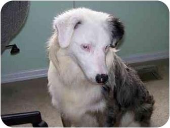 Australian Shepherd Dog for adoption in O'fallon, Missouri - Dylan