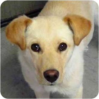 Terrier (Unknown Type, Small)/Labrador Retriever Mix Dog for adoption in YERINGTON, Nevada - Sarah