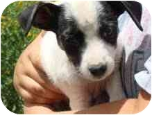 Dachshund/Terrier (Unknown Type, Small) Mix Puppy for adoption in Pie Town, New Mexico - ANNABELLE