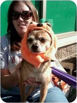 Chihuahua Mix Dog for adoption in Crown Point, Indiana - Chimichanga