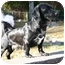 Photo 1 - Dachshund/Labrador Retriever Mix Dog for adoption in Naugatuck, Connecticut - Austin