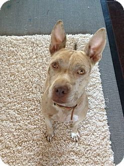 Catahoula Leopard Dog/Pit Bull Terrier Mix Dog for adoption in Scottsdale, Arizona - Stella
