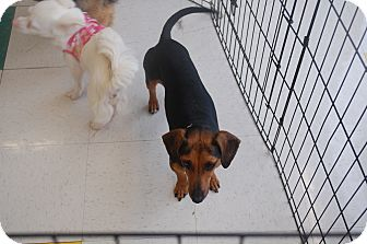 Dachshund Mix Dog for adoption in Hainesville, Illinois - Shelly