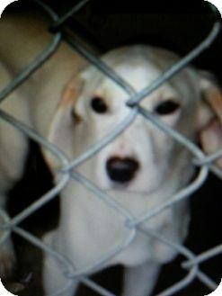 Feist/Beagle Mix Puppy for adoption in East Rockaway, New York - Glacier