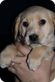 Golden Retriever Mix Puppy for adoption in Bedminster, New Jersey - Carrie Underwood