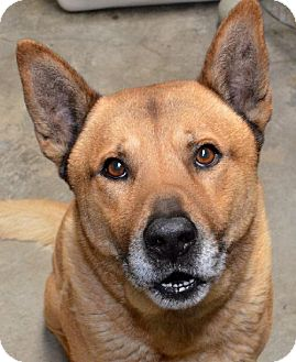 Chow Chow/Shepherd (Unknown Type) Mix Dog for adoption in Van Nuys, California - Brody