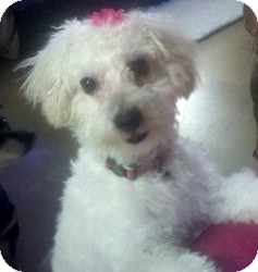 Maltese Mix Puppy for adoption in Mesa, Arizona - Lily
