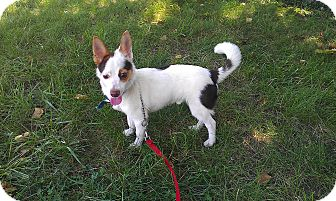 Chihuahua Mix Dog for adoption in Waldorf, Maryland - Rocko
