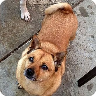 Corgi/Shiba Inu Mix Dog for adoption in Berkeley, California - Chula
