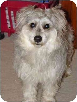 Schnauzer (Standard)/Poodle (Standard) Mix Dog for adoption in Wauseon, Ohio - Jenny