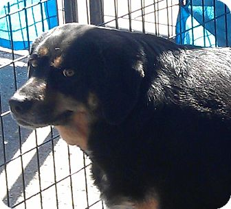 Rottweiler Mix Dog for adoption in Bartonsville, Pennsylvania - Molly