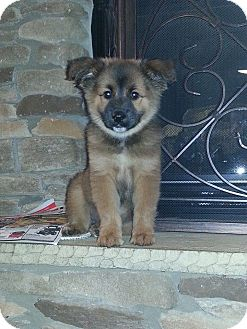Belgian Tervuren Mix Puppy for adoption in Charlotte, North Carolina - Sierra