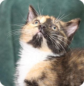 Domestic Shorthair Kitten for adoption in Winston-Salem, North Carolina - Moco