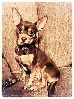 Chihuahua Mix Dog for adoption in Las Vegas, Nevada - Sierra