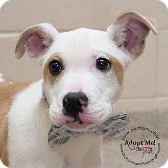 Pit Bull Terrier Mix Dog for adoption in Troy, Ohio - Marvin