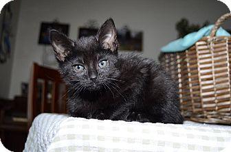 Domestic Shorthair Kitten for adoption in Middletown, Ohio - Apollo