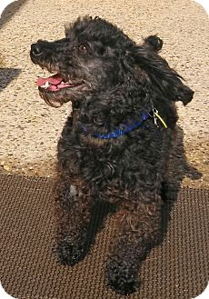 Poodle (Miniature) Mix Dog for adoption in Spring City, Pennsylvania - Blackie