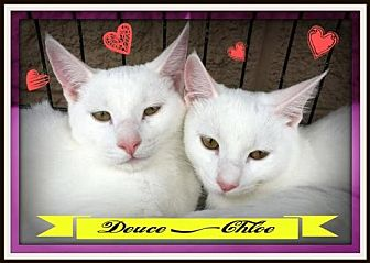 Domestic Mediumhair Cat for adoption in Rustburg, Virginia - Chloe: fostered