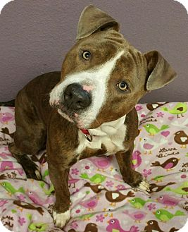 Pit Bull Terrier Mix Dog for adoption in Lisbon, Ohio - Beauregard