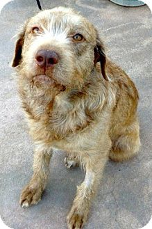 Wirehaired Pointing Griffon/Labrador Retriever Mix Dog for adoption in Oakley, California - Junior