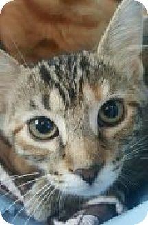 Domestic Shorthair Kitten for adoption in McHenry, Illinois - Bo