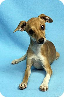 Chihuahua/Whippet Mix Puppy for adoption in Westminster, Colorado - Ruby