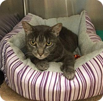 Hemingway/Polydactyl Cat for adoption in Colmar, Pennsylvania - Diane