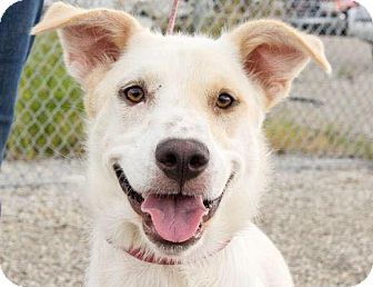 Labrador Retriever/Border Collie Mix Puppy for adoption in Seattle, Washington - Stormy