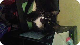 Domestic Shorthair Cat for adoption in Carlisle, Pennsylvania - BootsCP