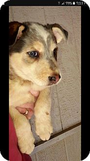 Australian Shepherd/Blue Heeler Mix Puppy for adoption in Trenton, New Jersey - Hampton