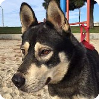 Husky/Jindo Mix Dog for adoption in Paso Robles, California - Dex