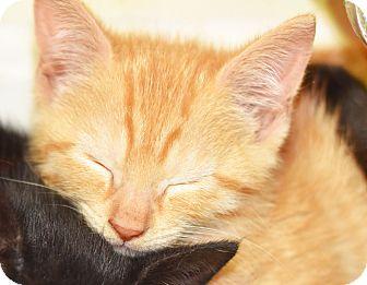 Domestic Shorthair Kitten for adoption in Xenia, Ohio - Elliot