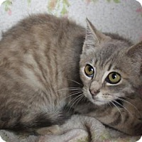 Domestic Shorthair Kitten for adoption in Morehead, Kentucky - Luna YOUNG FEMALE