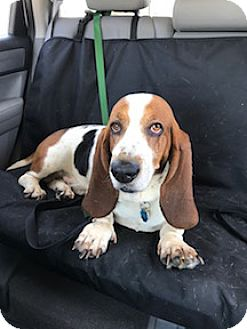 Basset Hound Dog for adoption in Columbia, South Carolina - Ralph