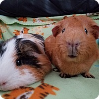 Adopt A Pet :: Sinatra and Curry - Harleysville, PA