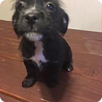 Adopt A Pet :: Pepper - Paprika Pup - Encino, CA