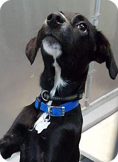 Labrador Retriever Puppy for adoption in Baytown, Texas - Adopt Me!