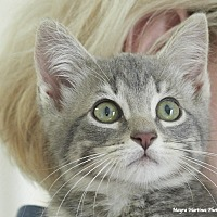 Domestic Shorthair Kitten for adoption in Marietta, Georgia - Scout