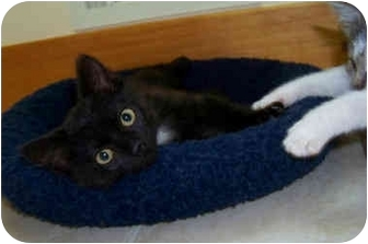 Domestic Shorthair Kitten for adoption in Brighton, Michigan - Twinkle