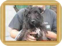 Scottie, Scottish Terrier/Patterdale Terrier (Fell Terrier) Mix Dog for adoption in Longview, Washington - Freddy
