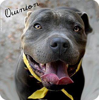 American Pit Bull Terrier Mix Dog for adoption in Burbank, California - Quinton - Loves Dogs, Kids, A+