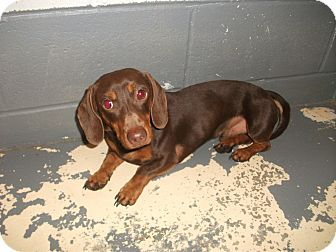 Dachshund Mix Dog for adoption in Richmond, Missouri - Harley