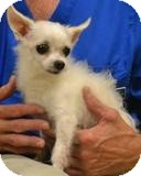 Maltese/Chihuahua Mix Dog for adoption in Mahopac, New York - Jimmy