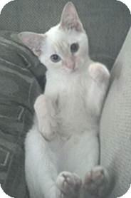 Siamese Kitten for adoption in Proctorville, Ohio, Ohio - Phoebe