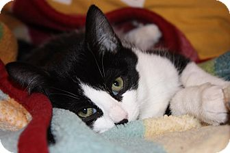 Domestic Shorthair Cat for adoption in Little Falls, New Jersey - Sidney (LE)