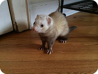 Ferret for adoption in Brooklyn, New York - Buzz